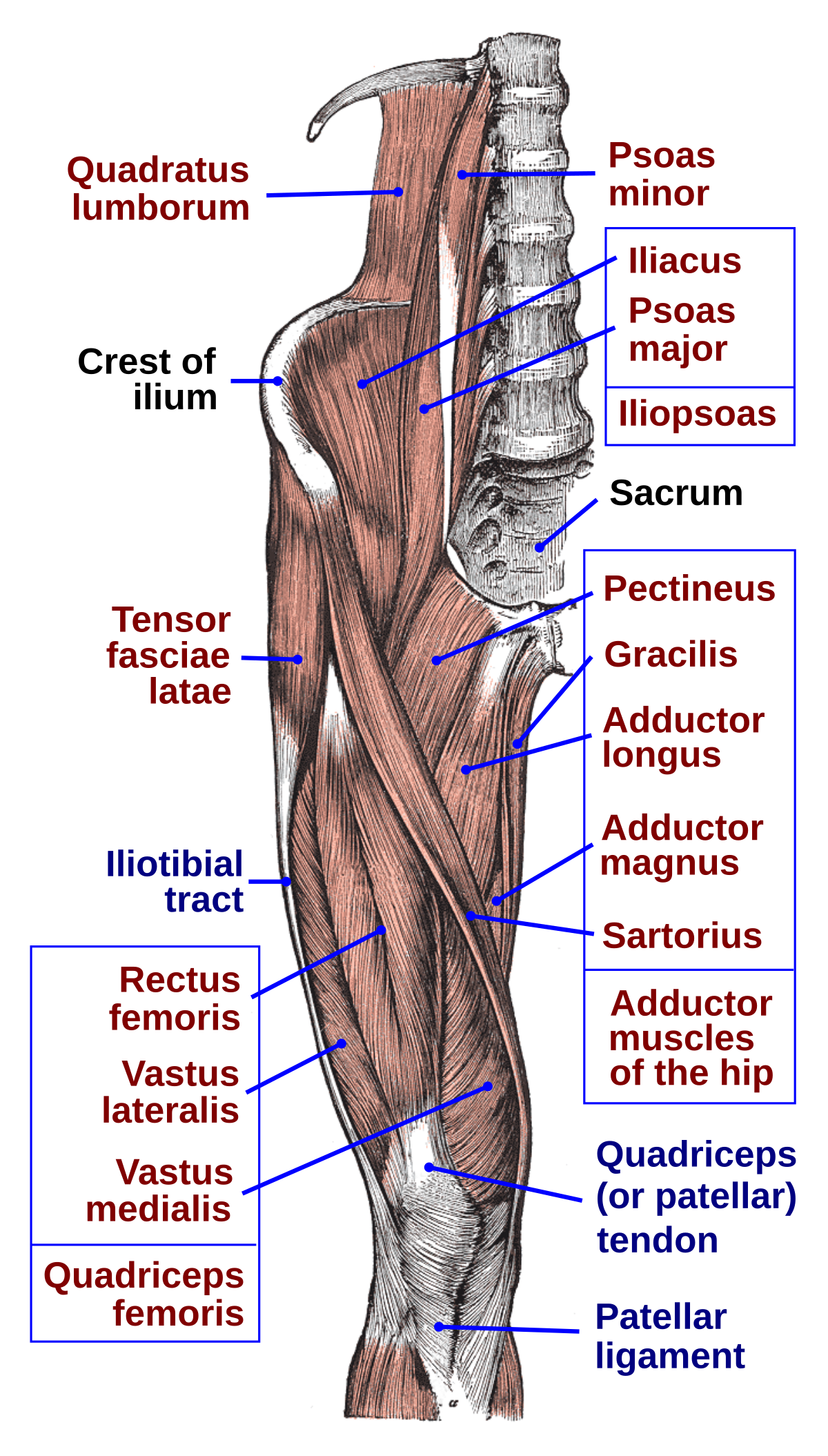 Anatomy of the hip. Muscles labeled