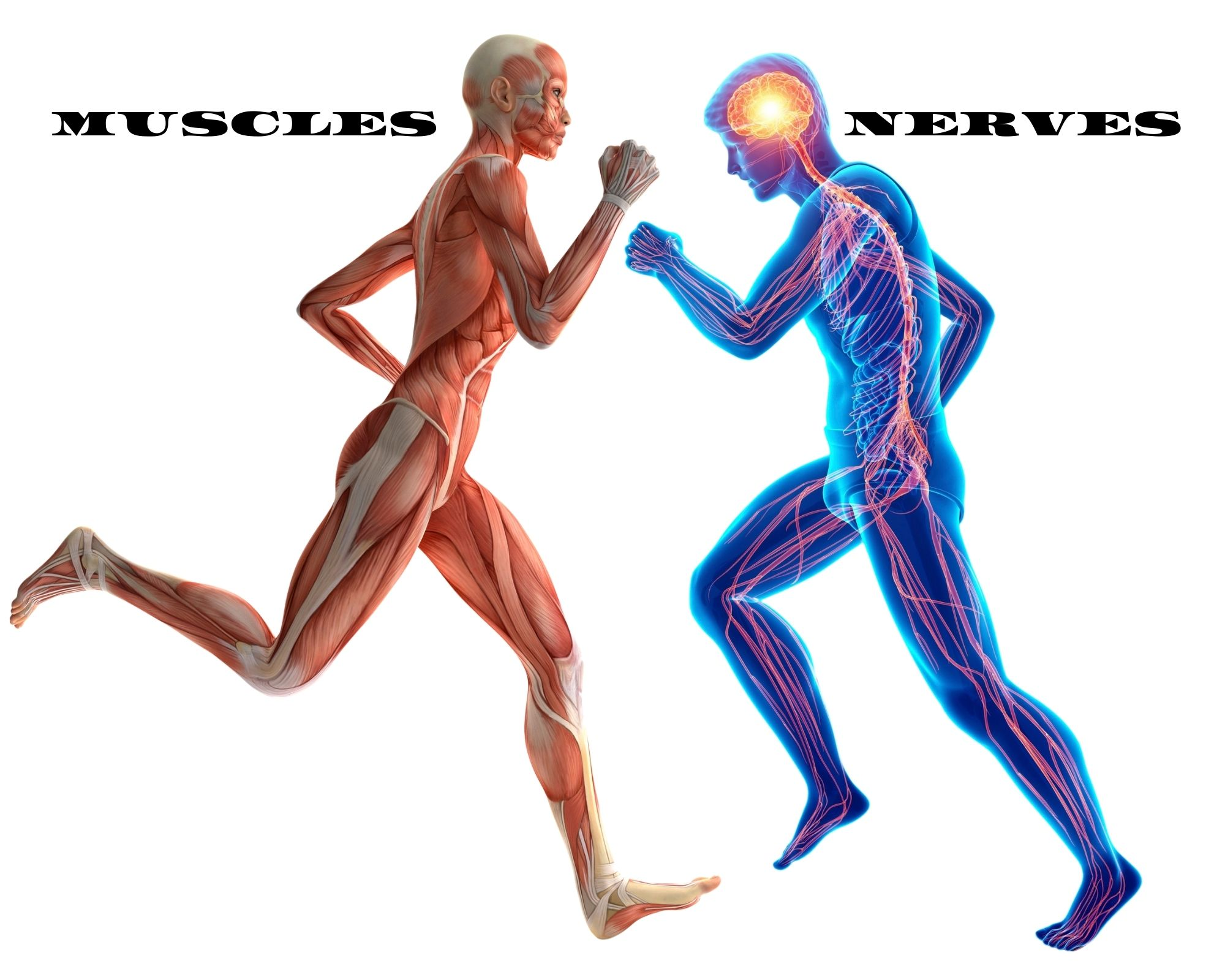 Picture of all the muscles in the body and the nervous system in the body