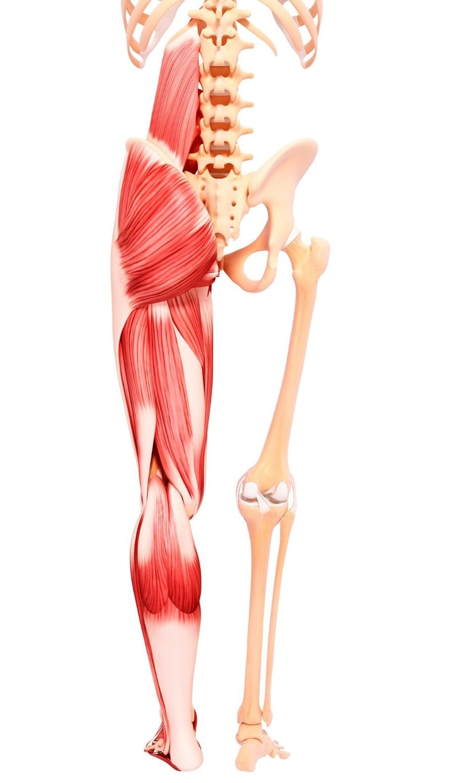 Complete view of leg muscles - flexibility